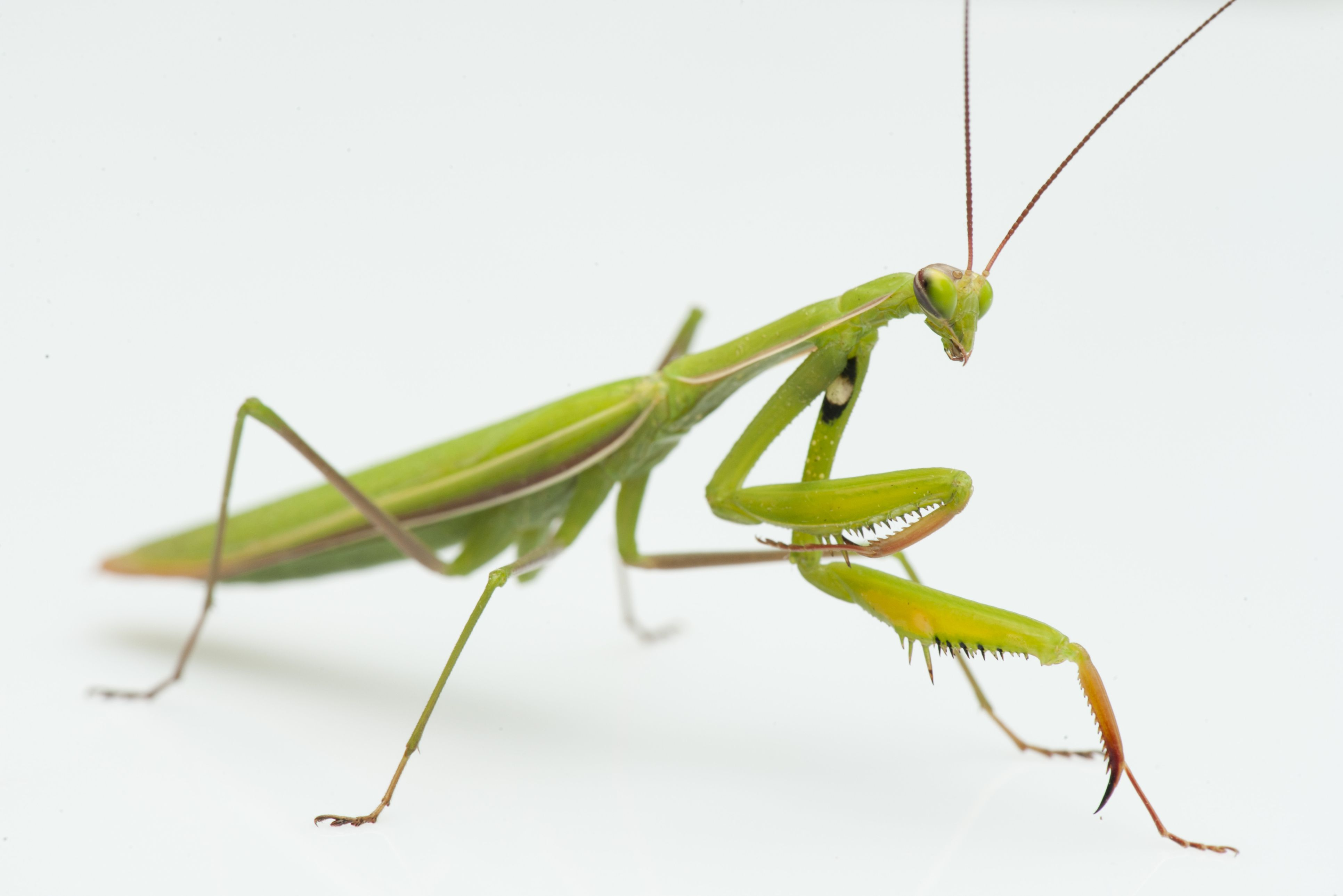 Superorder Dictyoptera, Roaches and Mantids