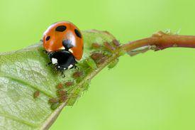 A ladybug eating aphids.