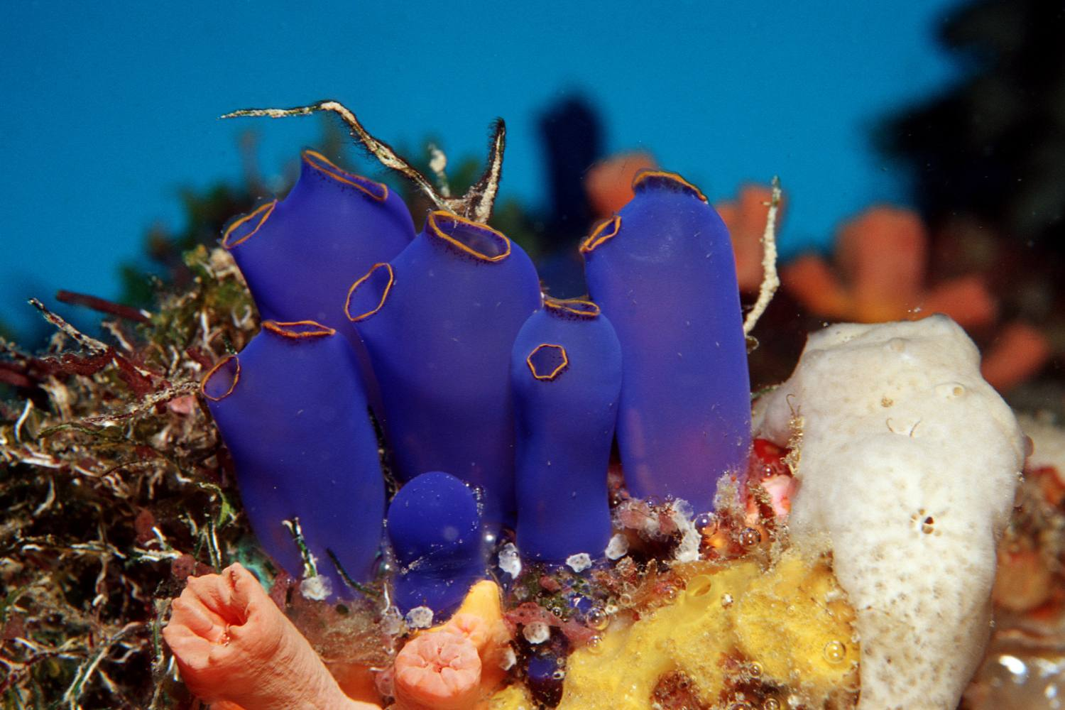 Sea Squirt Tunicates on a Coral reef