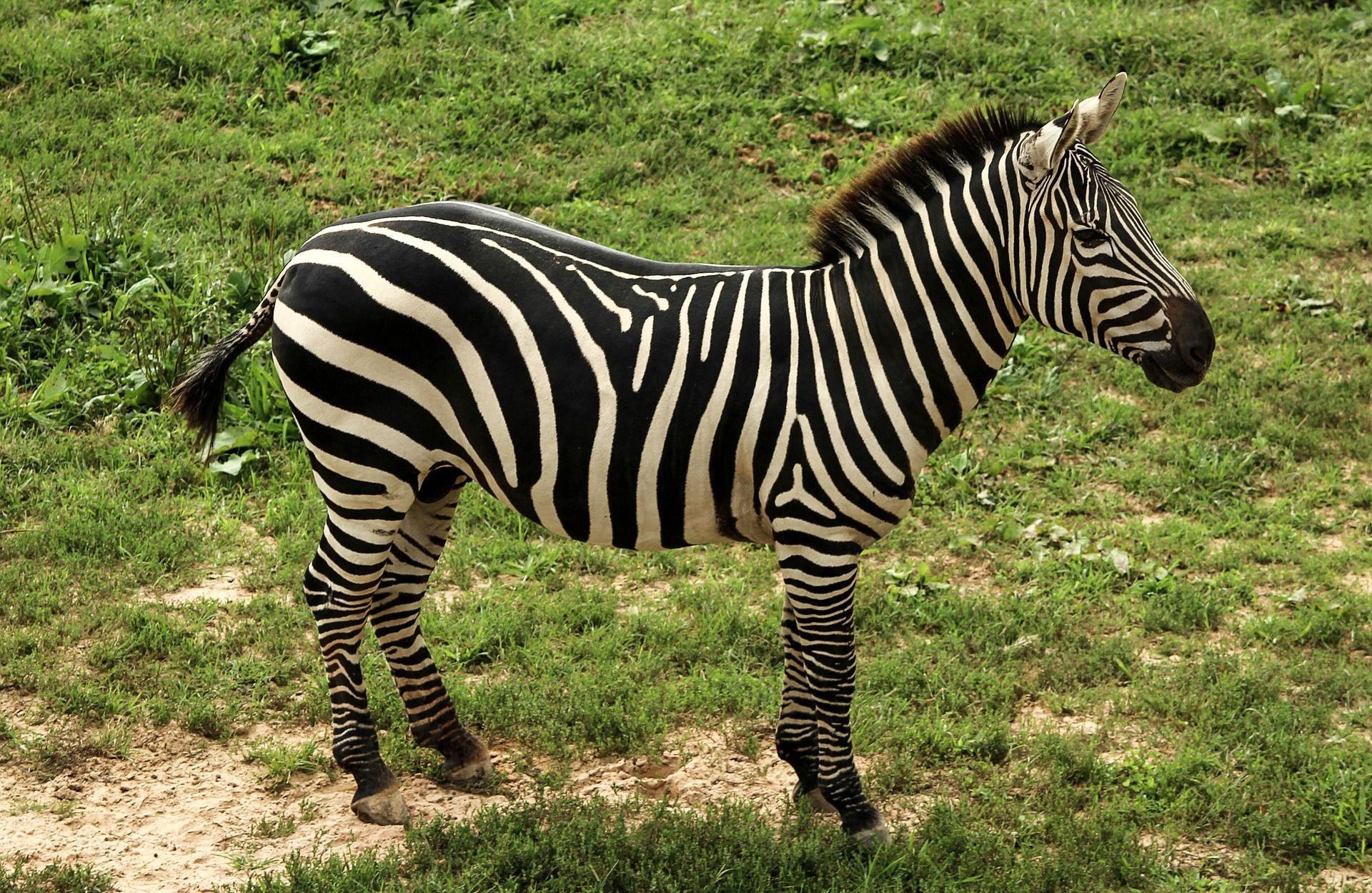 Zebra standing in the grass in profile.