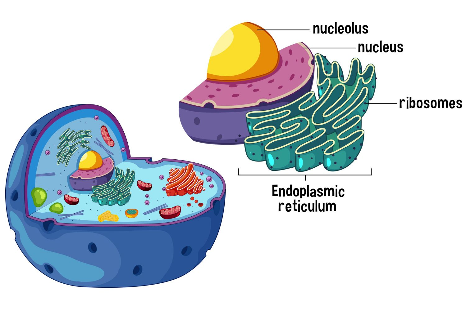 Ribosomes And Protein Assembly