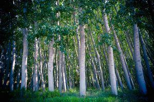 Silver Bark trees in Spain