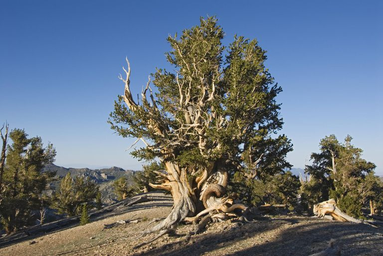 Ancient Bristlecone Pine Forest near Patriarch Grove.