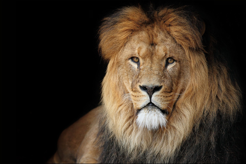 American Lion on black background