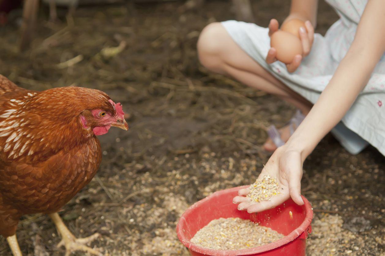 Girl feeding a hen