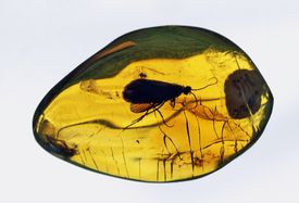 An fossilized insect in amber