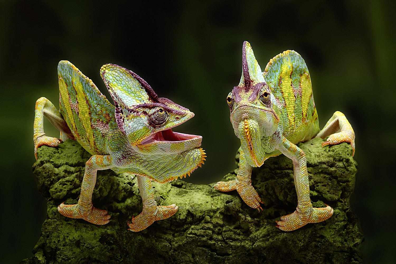 Gambar Chameleon