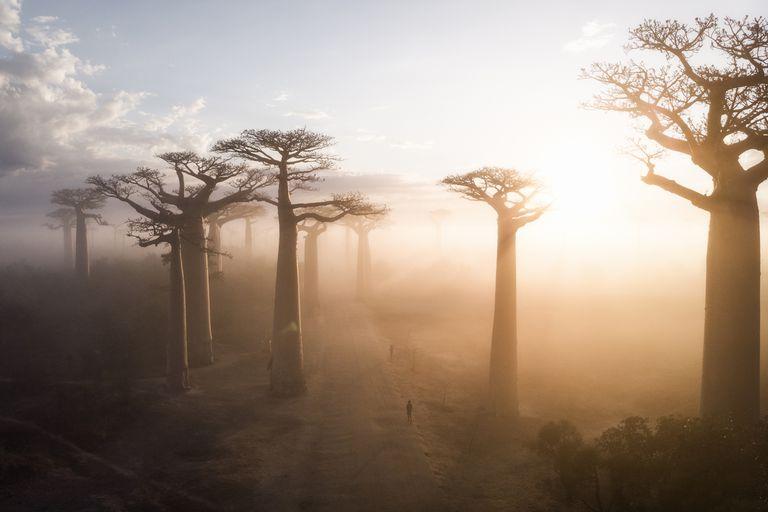Sunrise over baobab trees