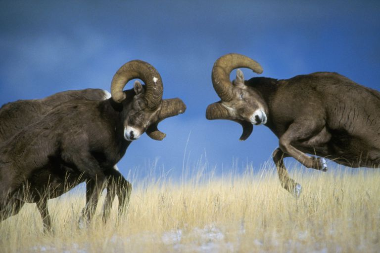 Two Rocky Mountain bighorn rams jump toward each other in a battering attack of curved horns