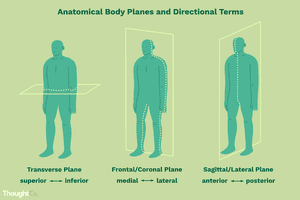 Anatomical Body Planes and Directional Terms