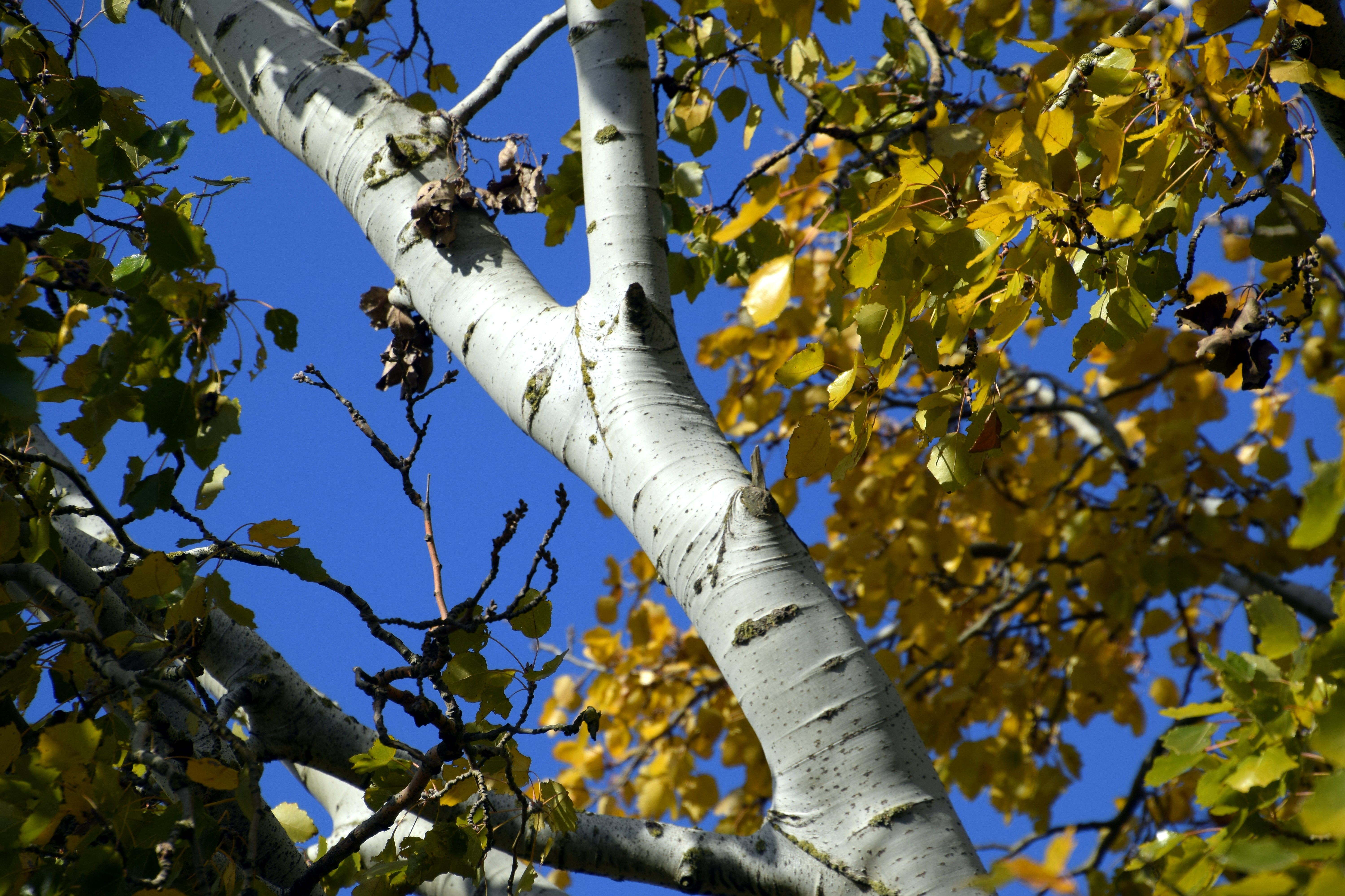 Silver poplar with yellow leaves in autumn against the blue sky