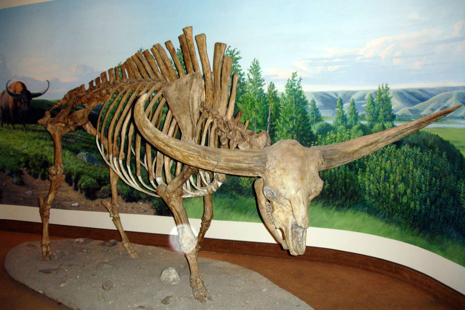 The fossilized skeleton of a giant bison, a prehistoric mammal of New Mexico