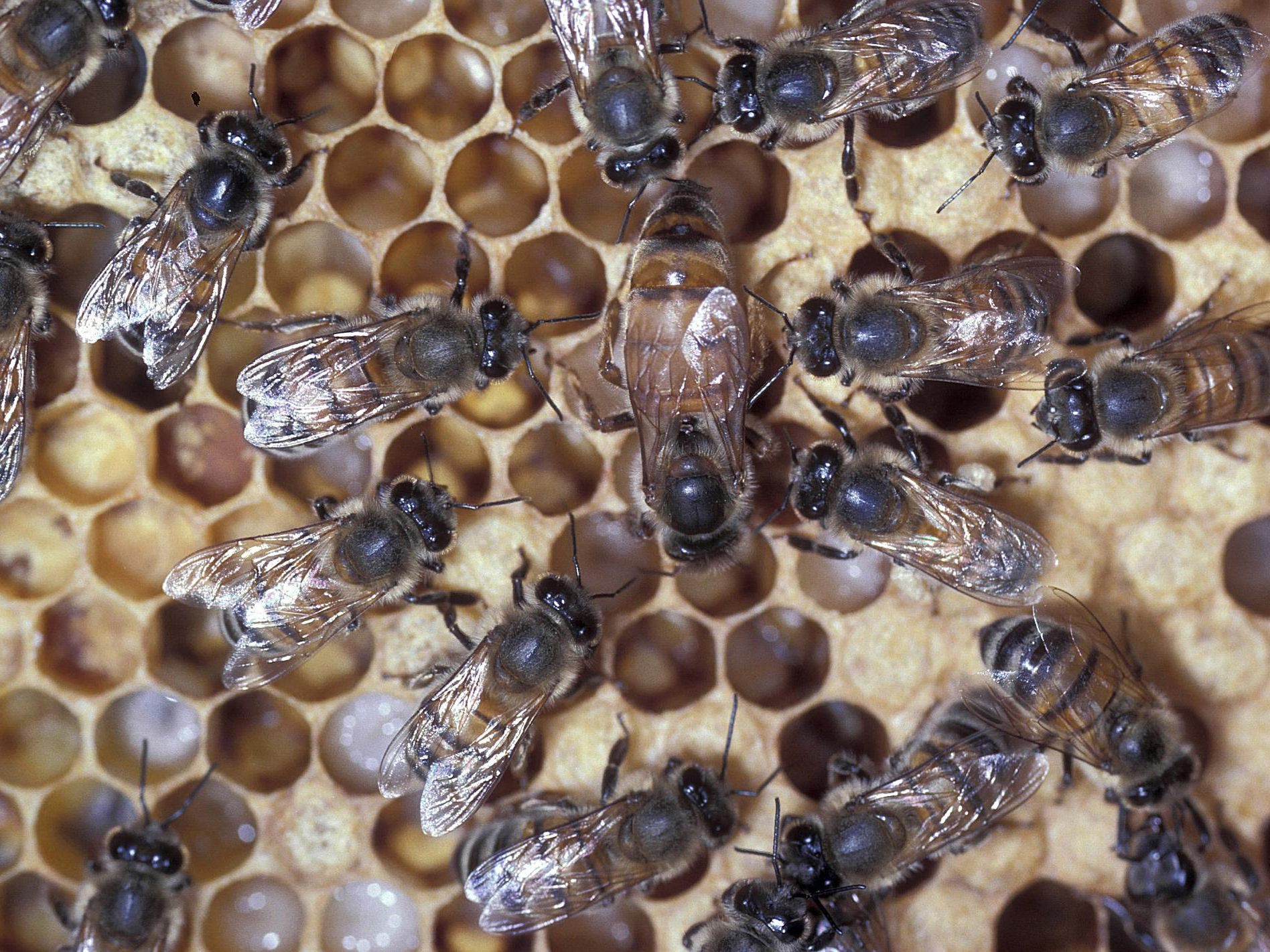 The Roles of Queens, Drones and Worker Honey Bees