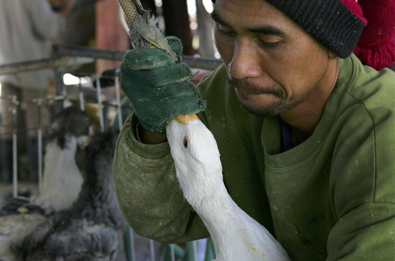 A farm hand uses a tube to force feed duck.