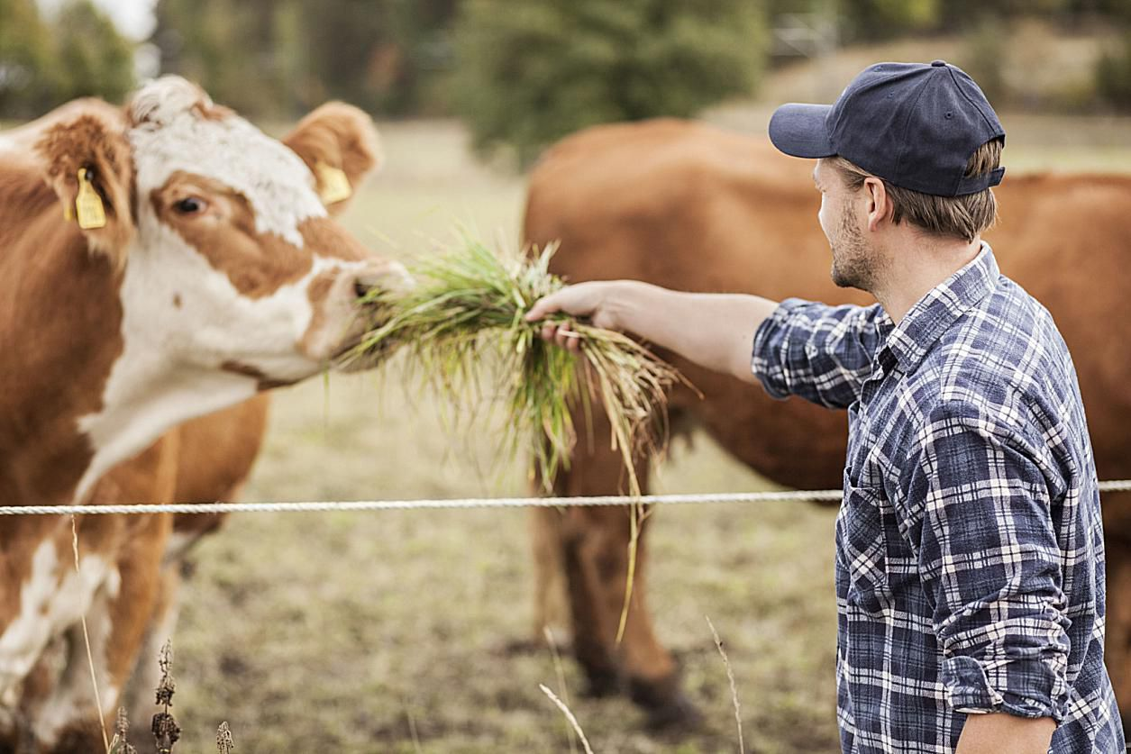 domestic cow gets a snack