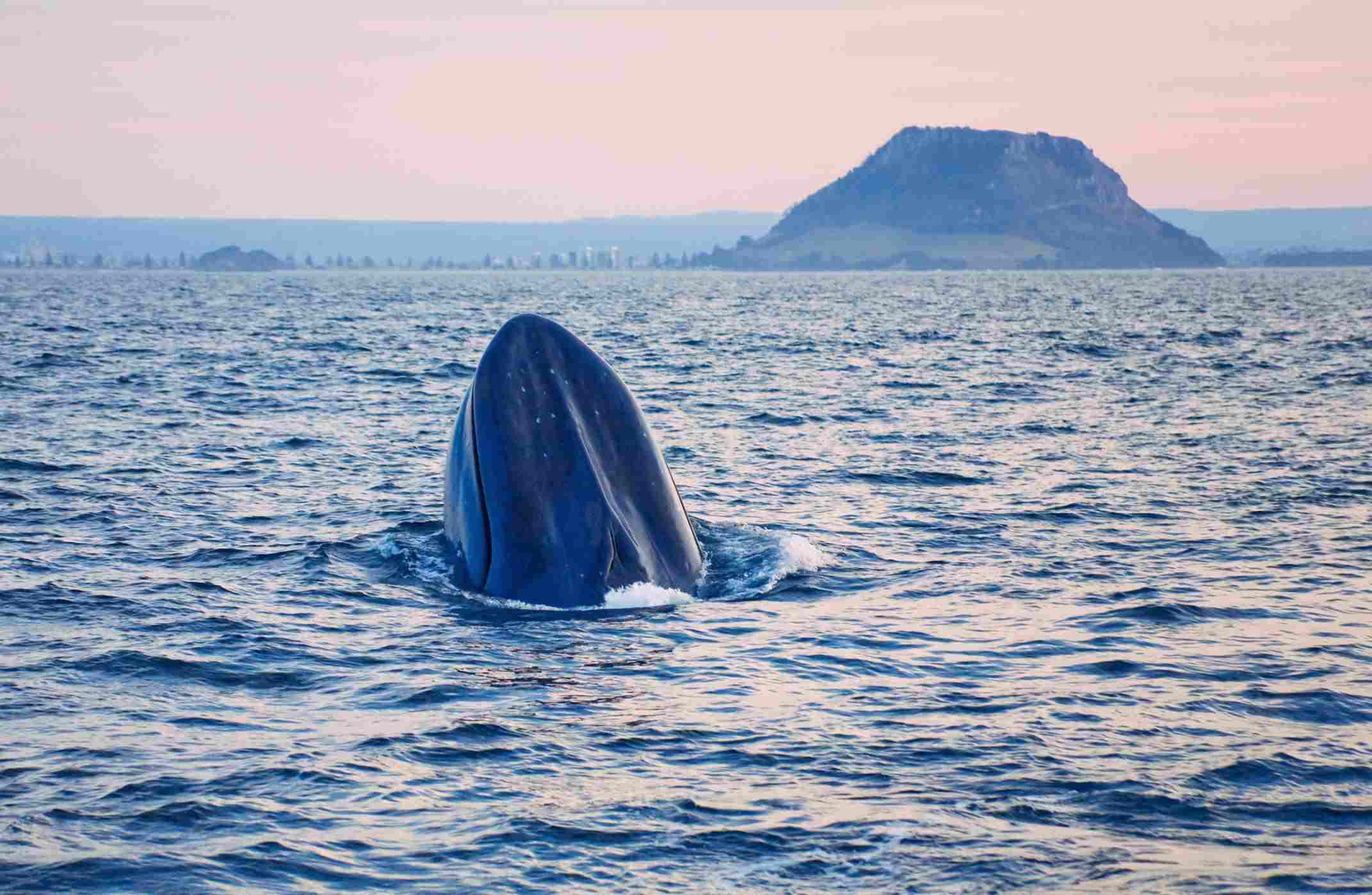 Blue Whale feeding near shore, New Zealand