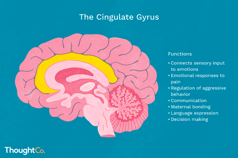The cingulate gyrus.