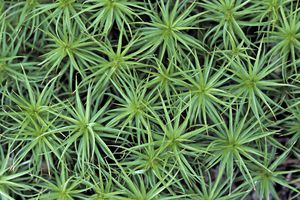 Moss Gametophytes