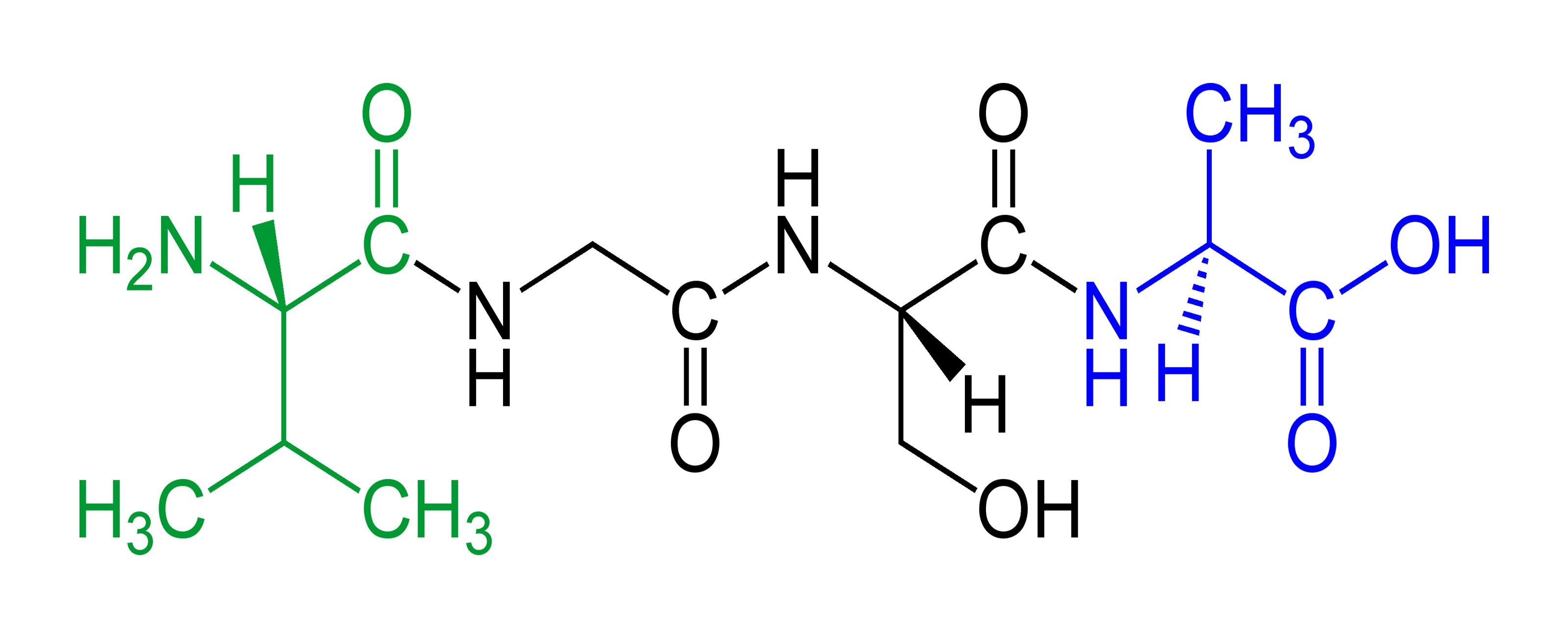 This is an example of a tetrapeptide, with the N-terminus in green and the C-terminus in blue.
