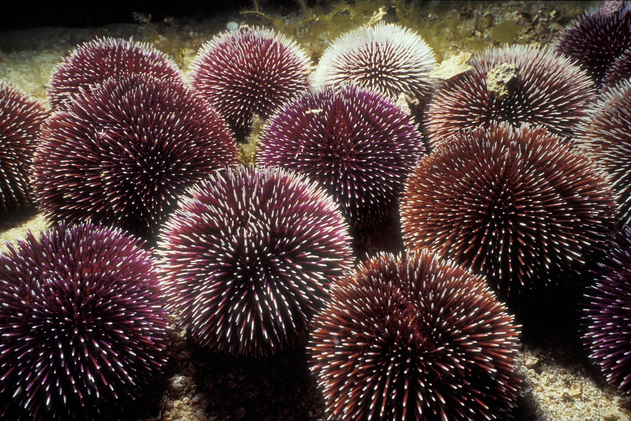 Echinoidea Profile - Facts About the Class Echinoidea