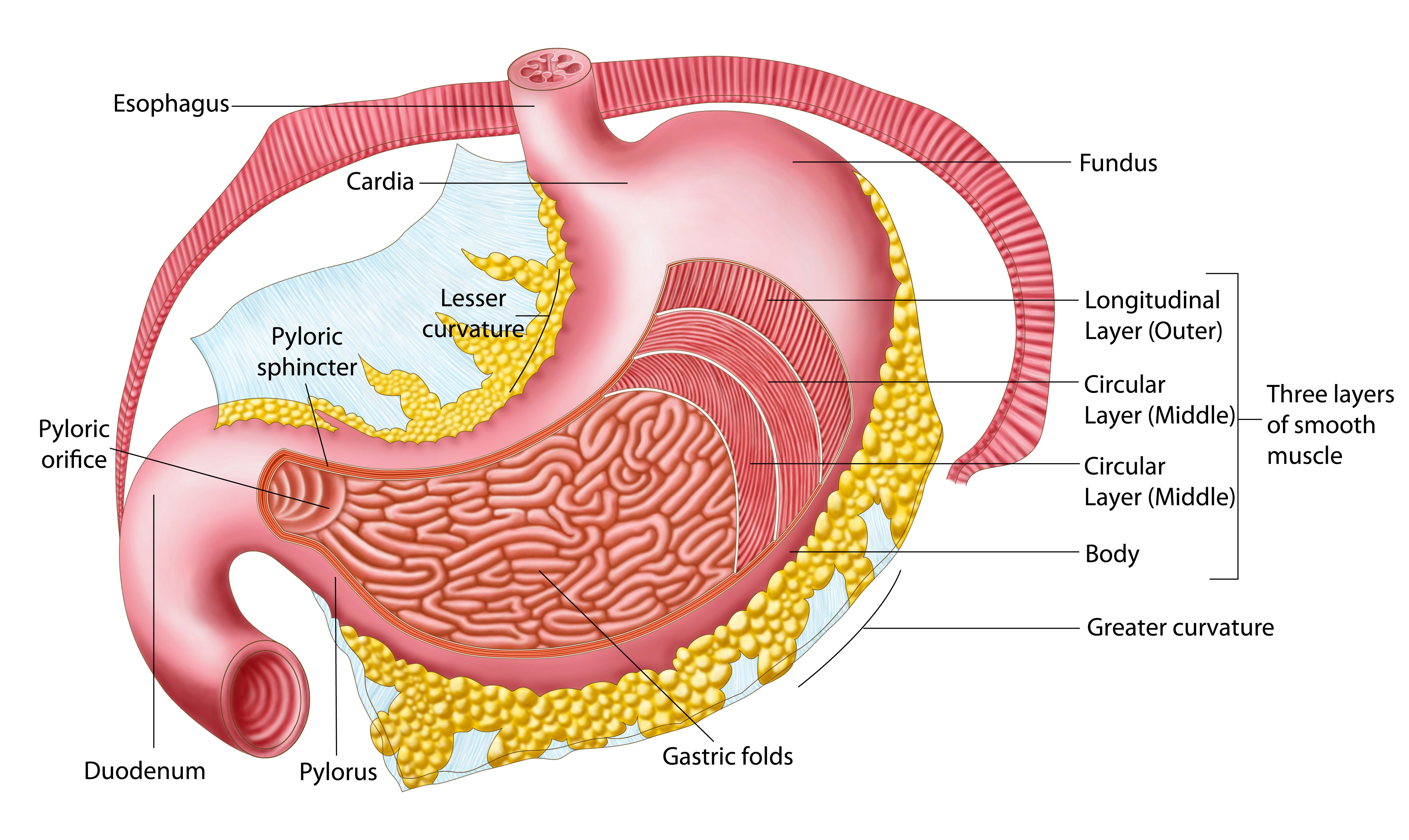 anatomy of the stomach (with pictures)