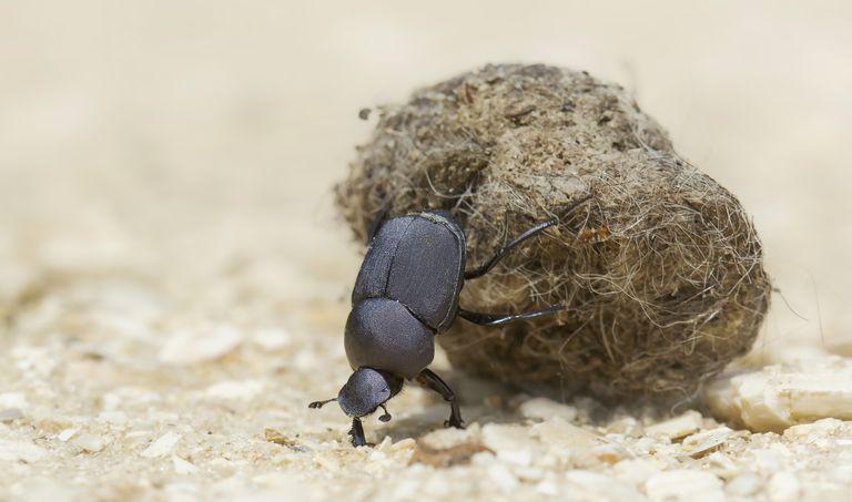 Dung beetle.