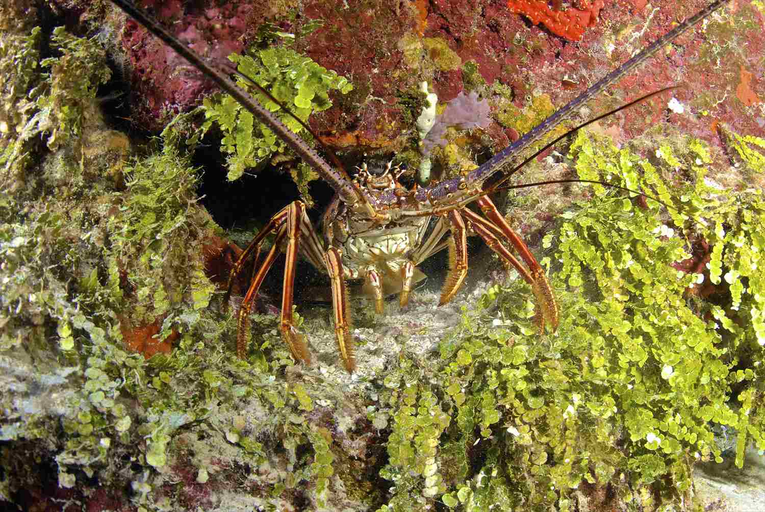 Spiny Lobster Hiding in the Reef