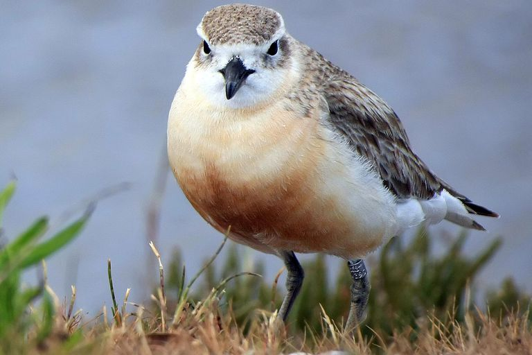 New Zealand Dotterel - Charadrius obscurus