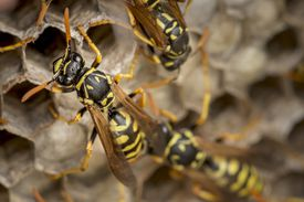 Paper wasps build their nests by turning wood into paper