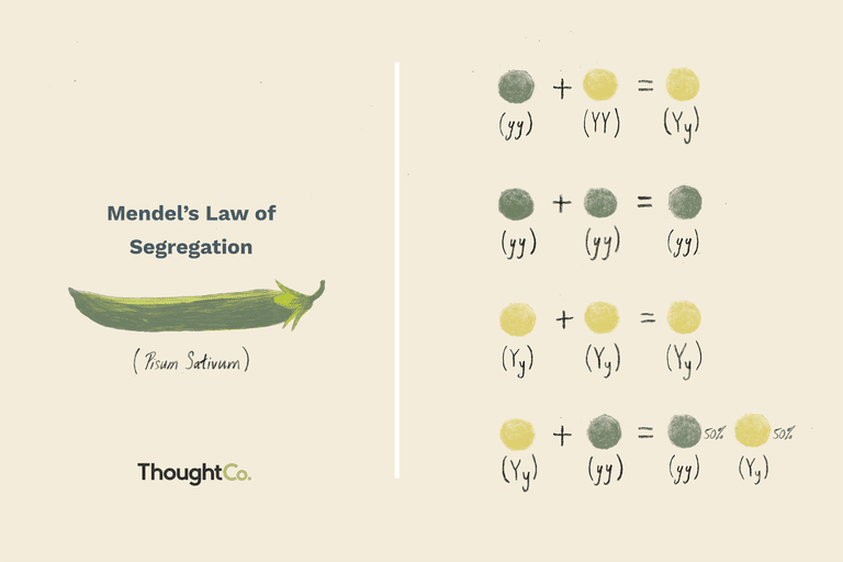 Mendel's Law of Segregation
