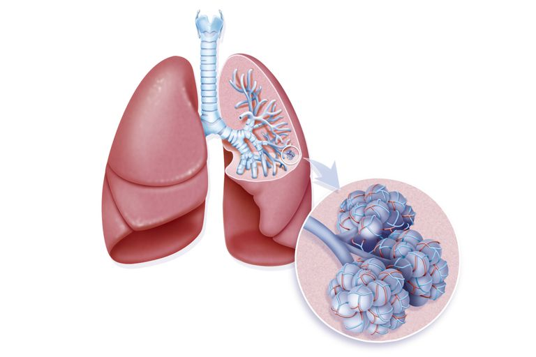 Illustration of Lung