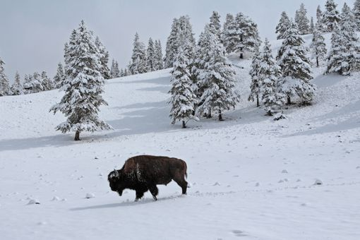 Bison makes lone trudge through snow