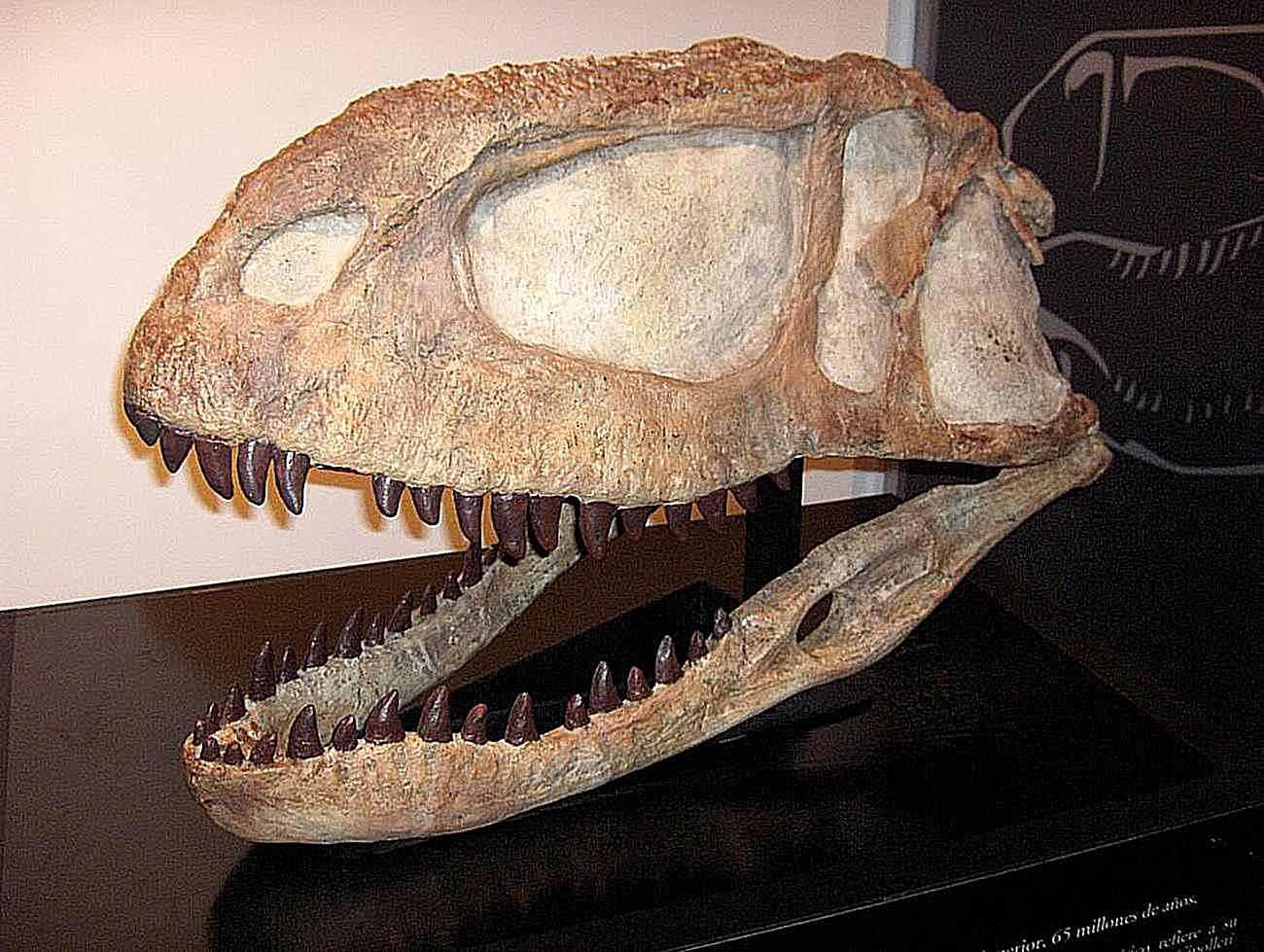 An Abelisaurus skull