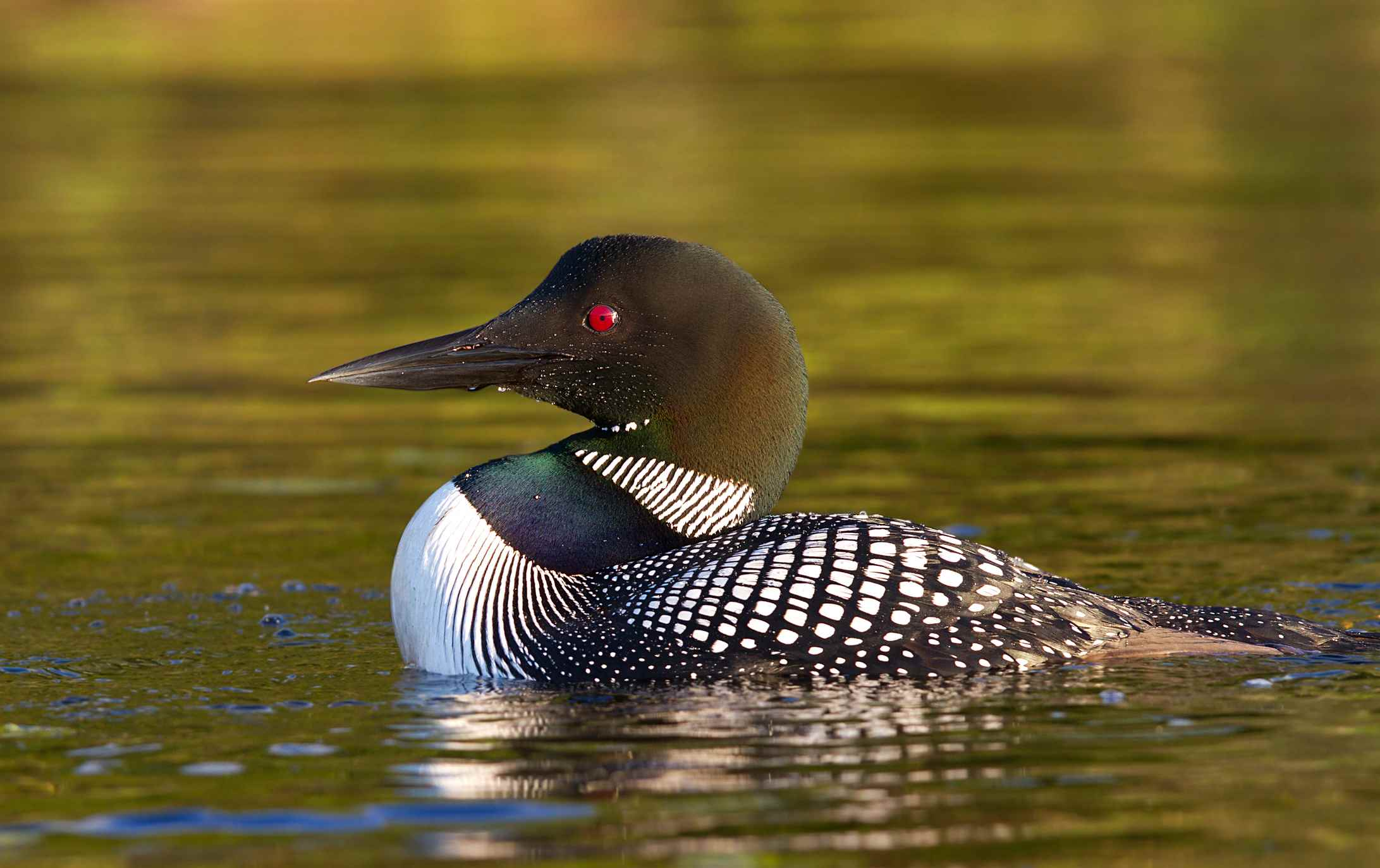 Loon swimming in water
