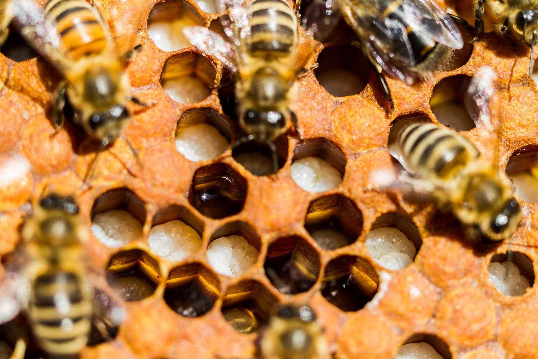 Honeybees Larvae