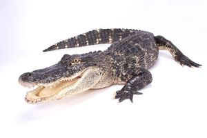 The American alligator is a large carnivorous reptile.
