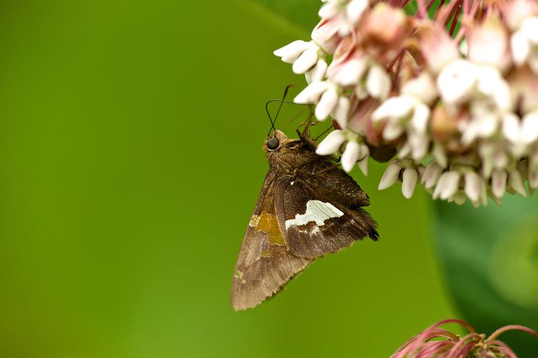 Silver spotted skipper.