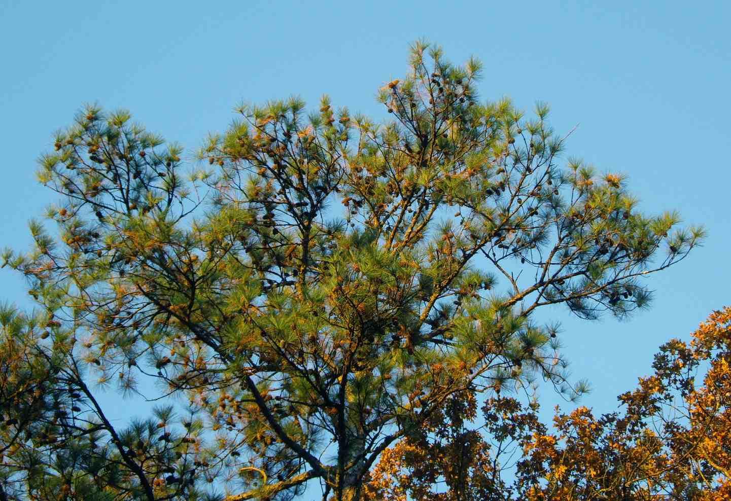 loblolly tree