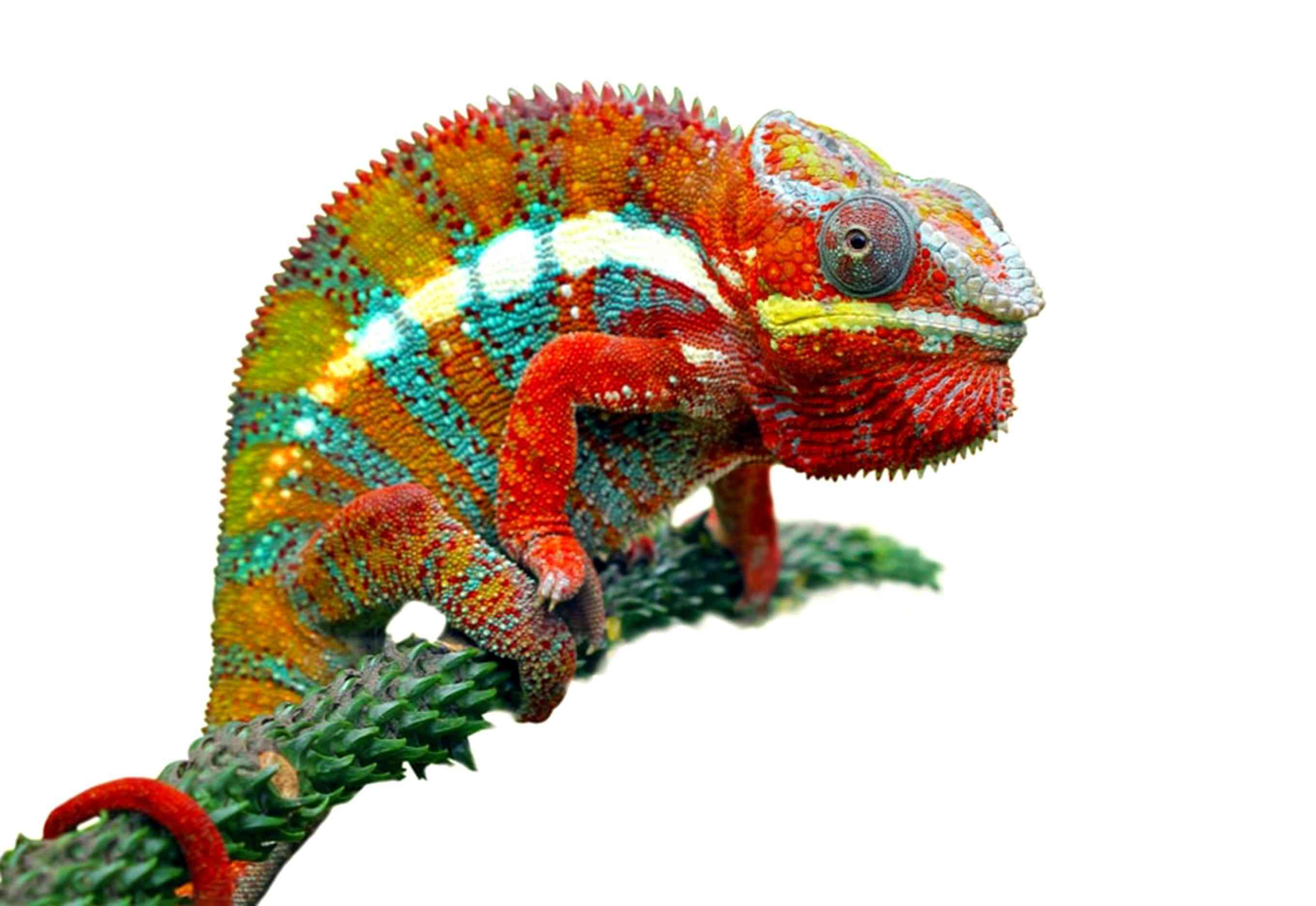A chameleon displaying vibrant reds, blues, greens, and yellows in dramatic stripes and spots