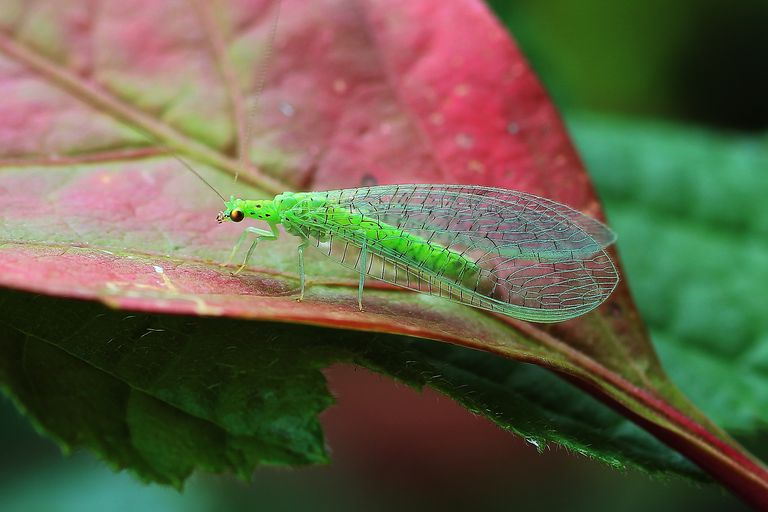 Green lacewing.