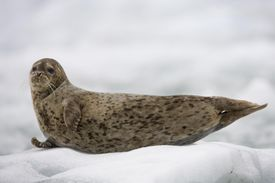 Harbor Seal Pup on Iceberg, Alaska