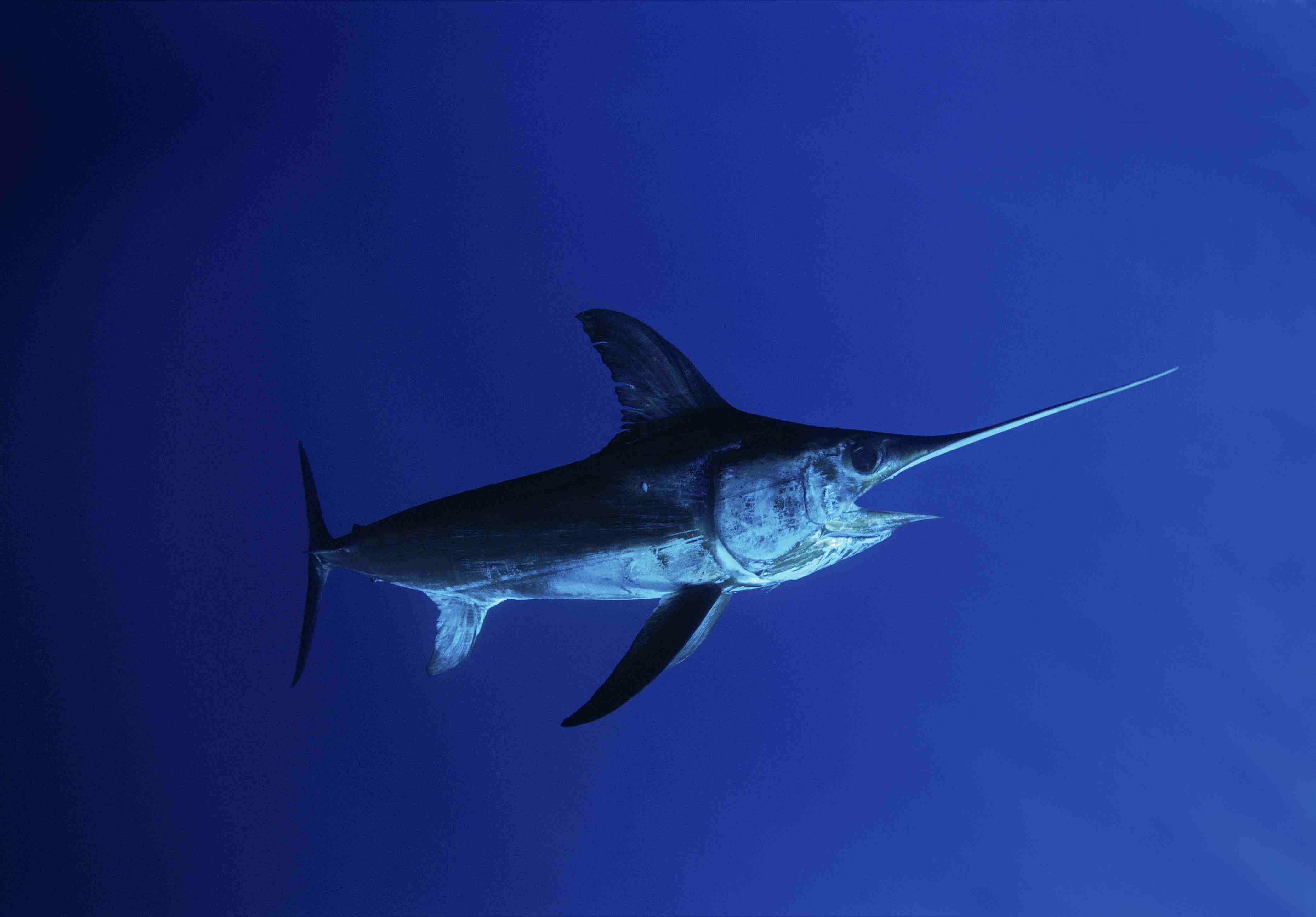 Swordfish (Xiphias gladius) in the open ocean surrounding Cocos Island, Costa Rica
