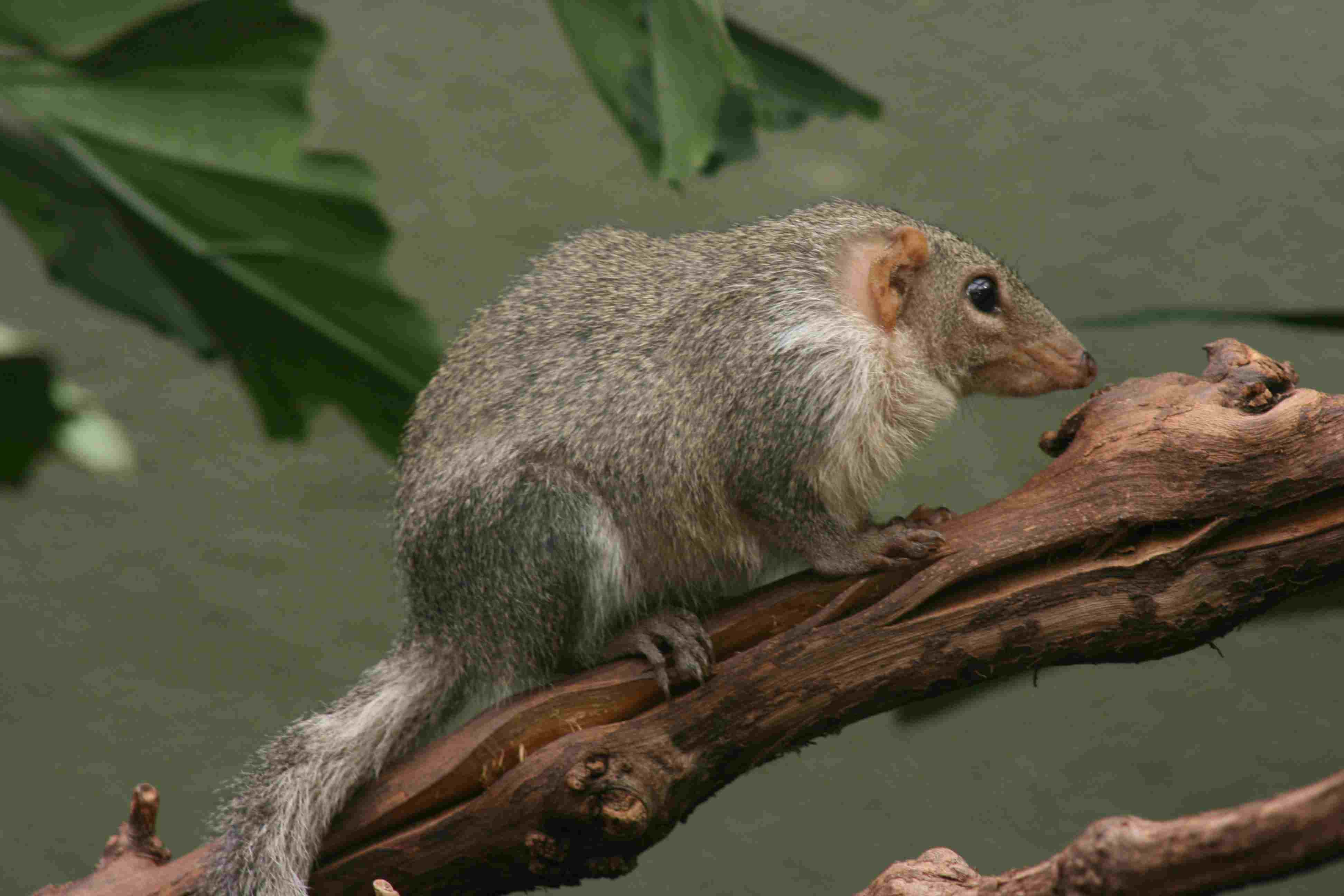 Tree shrew standing on a branch.