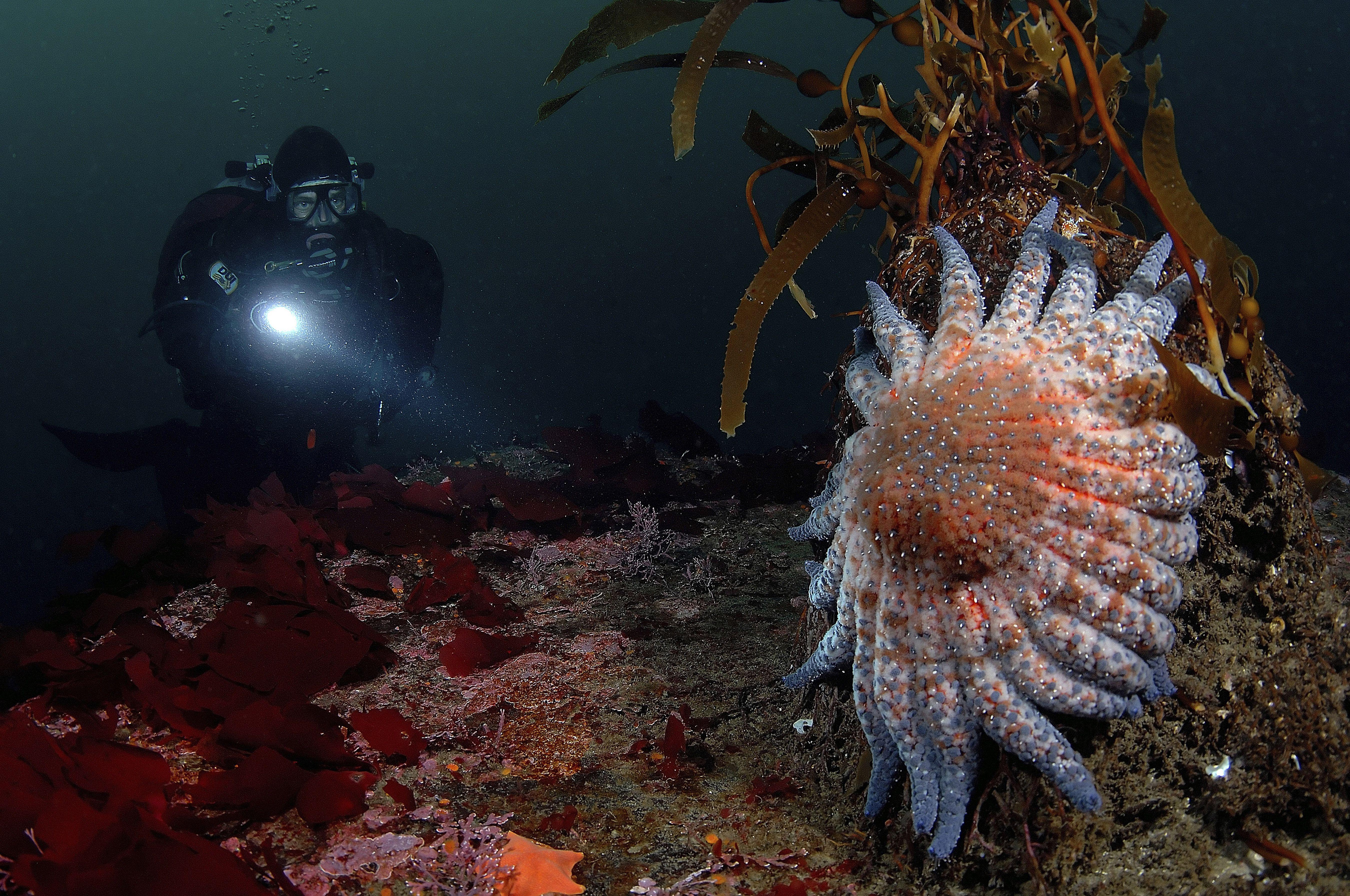 Diver and Sun Star, Crossaster sp., Monterey Bay, California, USA