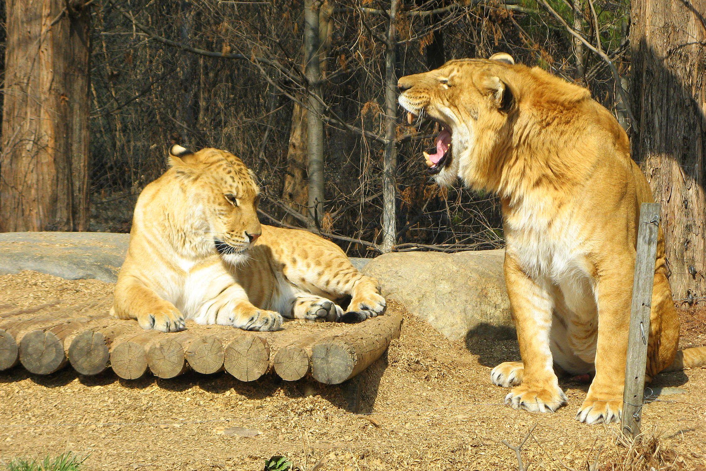 Hier sind zwei Ligatoren dargestellt, männlich und weiblich.  Ligers sind die Nachkommen einer Kreuzung zwischen einem weiblichen Tiger und einem männlichen Löwen.  Die Fähigkeit großer Katzenarten, auf diese Weise hybride Nachkommen zu produzieren, verwischt die Definition einer Art.
