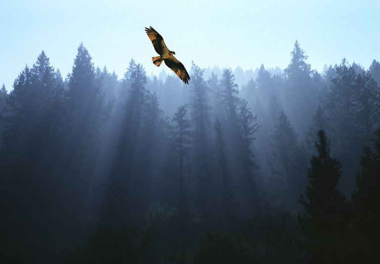 Osprey flying above fir trees with sunrays streaming through mist