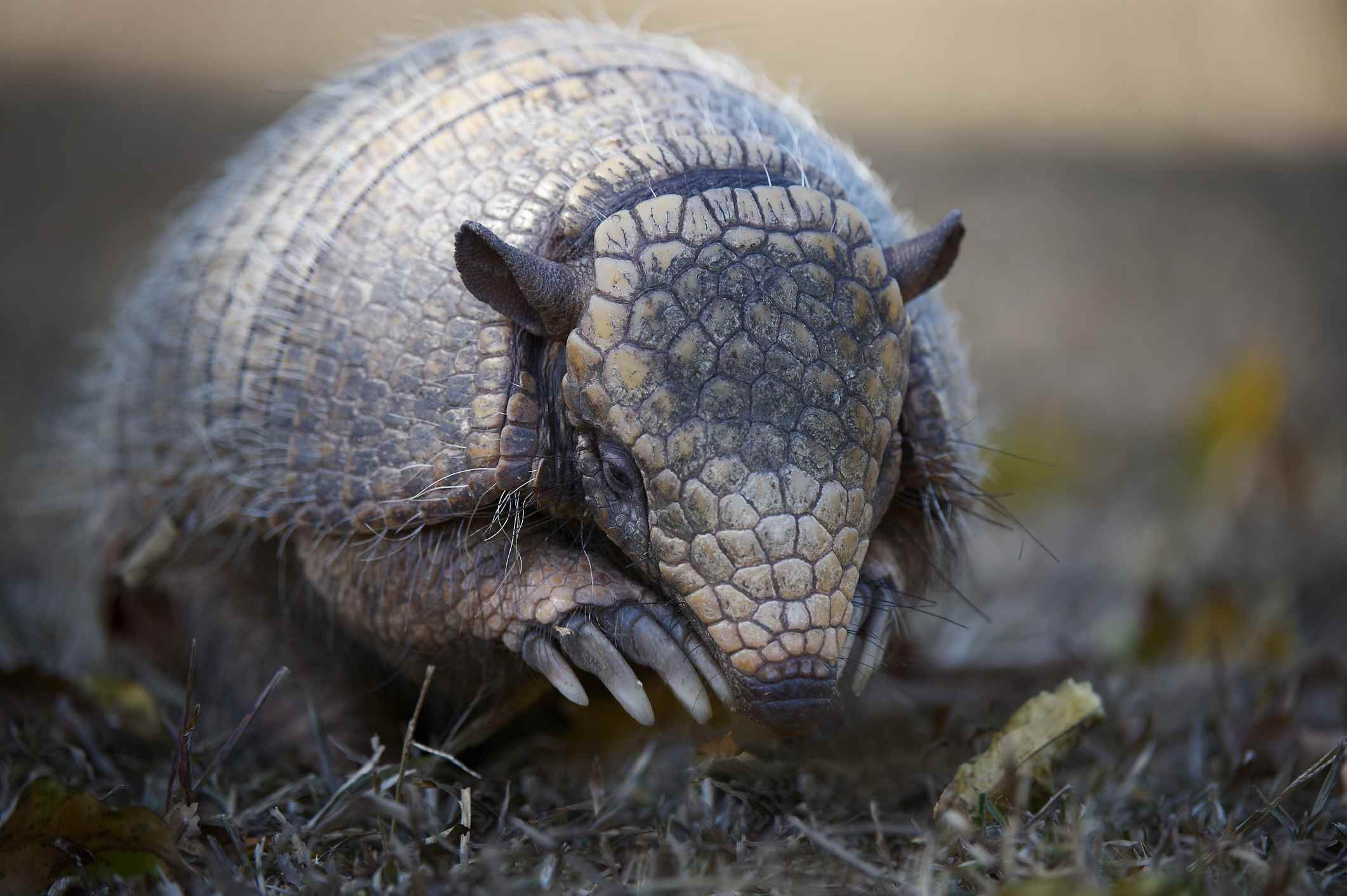 A close-up of an armadillo ready to dig for food with is long claws