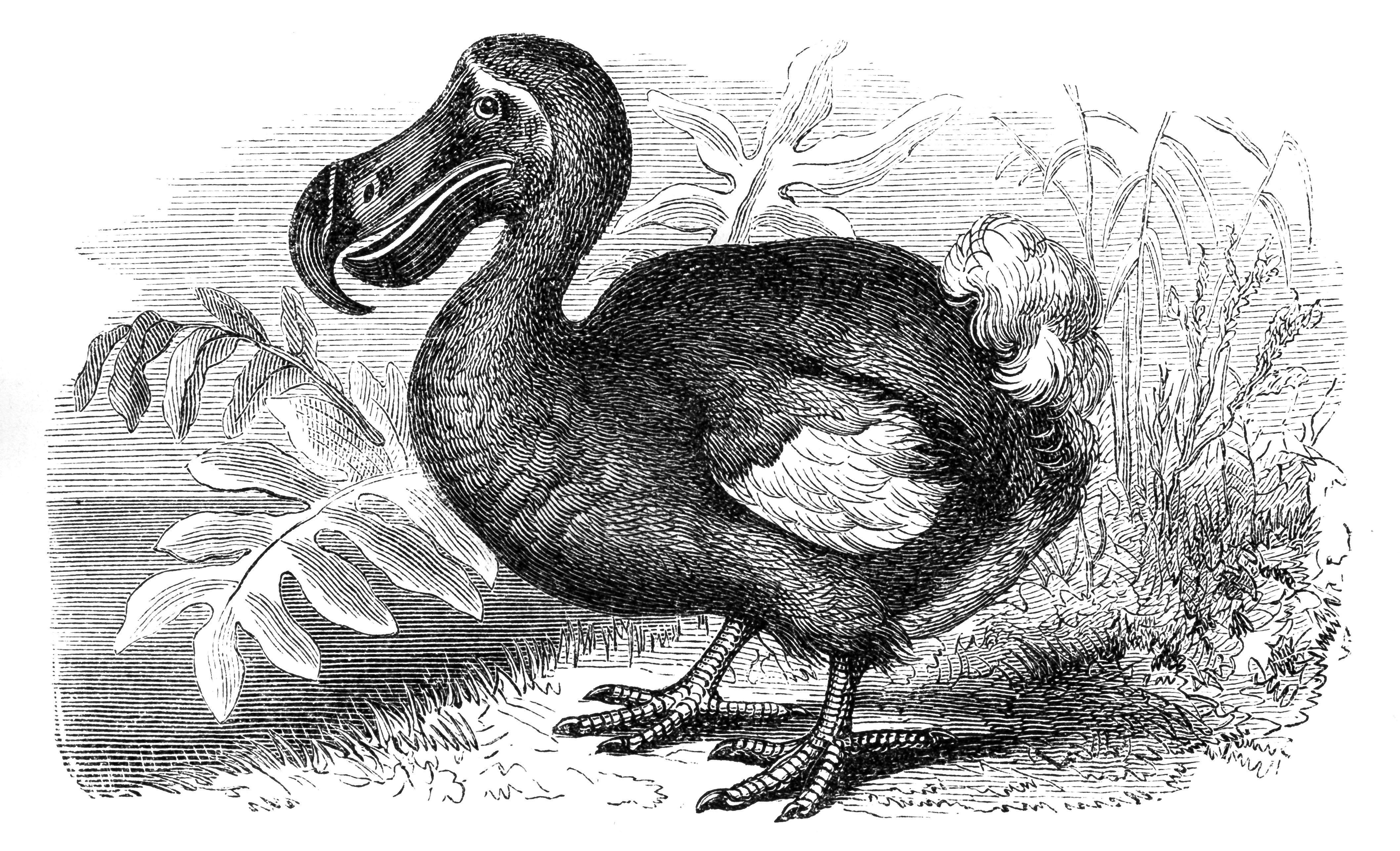 Dodo bird drawing