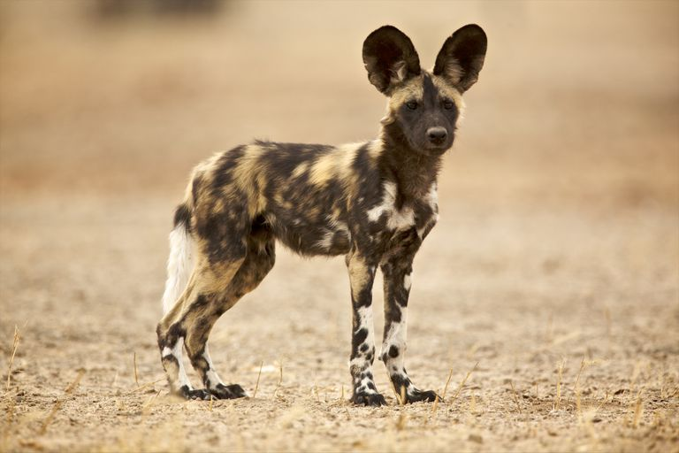 An African wild dog pup has more fur than an adult.