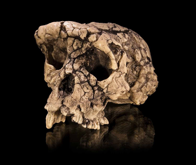 Cast of the Sahelanthropus tchadensis holotype cranium
